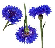 Two related salfa canal files carved by a cornflower flower in different angles. On a white background Stock Photo