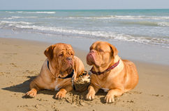 Two relaxed dogs lying at the beach Royalty Free Stock Images