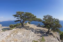 Two relict juniper trees on a mountain top. Crimea. Two relict juniper trees on a mountain top. Crimea, sunny day in September. Crimea, September Stock Images