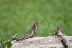 Two Reptiles Royalty Free Stock Photos