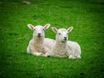Two Resting Lambs Royalty Free Stock Photos