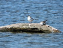 Two resting seagull birds, Lithuania Stock Image