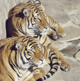 Two Resting Tigers Royalty Free Stock Image