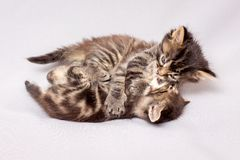 Two restless kittens are playing. Kittens on a light background_ royalty free stock image