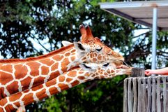 Two reticulated giraffes Stock Photo