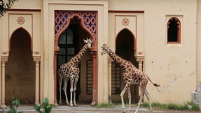 Two reticulated giraffes. Young reticulated giraffes, Giraffa camelopardalis reticulata, herbivore found on the savannas of tropical Africa and the tallest land stock footage