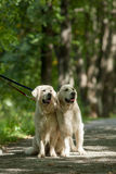 Two retriever in the park Stock Photography