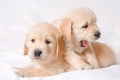 Two retriever puppies Stock Photography