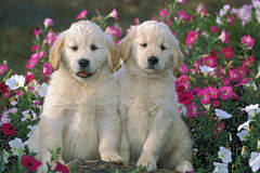 Two Retriever Puppies Royalty Free Stock Images