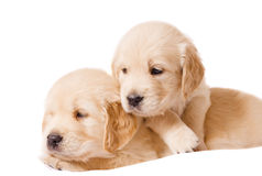 Two retriever puppies on white background. Two small retriever puppies on white background Royalty Free Stock Images
