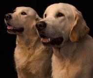 Two retrievers. Two dogs in the studio royalty free stock photos
