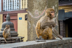 Two Rhesus Macaque Monkeys Royalty Free Stock Photo