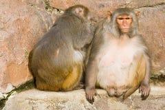 Two rhesus monkeys Royalty Free Stock Photo