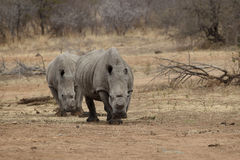Two Rhino with cut horns to protect against poaching. In Kruger National Park Royalty Free Stock Photography