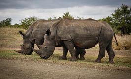 Two Rhino on Gray Field Royalty Free Stock Photos