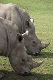 Two Rhino Grazing Stock Photo