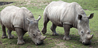 Two Rhino Grazing Stock Photos