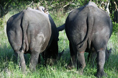 Two Rhino, Kruger national Park Royalty Free Stock Photography