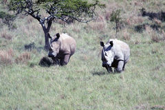 Two Rhino, Kruger national Park. South Africa Stock Photos