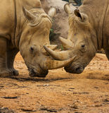 Two Rhino Locking Horns. Close to the Ground Royalty Free Stock Photography