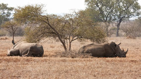 Two rhino lying under a thorn bush Royalty Free Stock Image