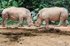Two rhino royalty free stock image