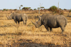 Two rhino standing on open area looking for safety from poachers Royalty Free Stock Photos