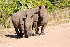 Two rhino standing in the road Royalty Free Stock Images