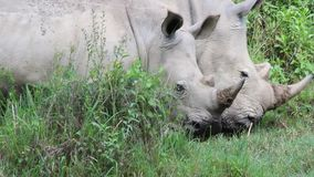 Two rhino walking and grazing on the grass in Kenya stock video