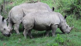 Two rhino walking and grazing on the grass in Lake Nakuru National Park stock video