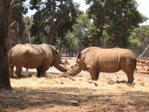 Two rhino at the zoo facing each other in Israel Royalty Free Stock Image