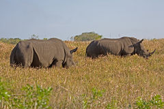 Two rhinoceros. Two Southern Africa White Rhinoceros walking in the grass in South Africa stock photo