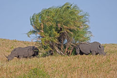 Two rhinoceros. Two Southern Africa White Rhinoceros by a tree in South Africa Stock Images