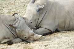 Two Rhinoceros Stock Photo