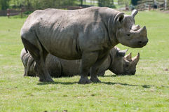 Two Rhinoceros Stock Photography