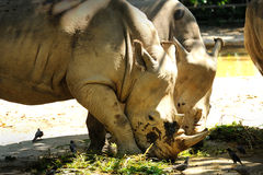 Two Rhinoceros. Close up of Two Rhinoceros Stock Images