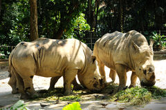 Two Rhinoceros. Close up of Two Rhinoceros Royalty Free Stock Photo