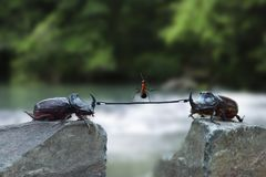 Two rhinoceros beetles with a rope and an ant over a precipice royalty free stock images