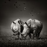 Two Rhinoceros with birds in BW Stock Photos