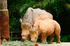 Two Rhinoceros eating stock photography