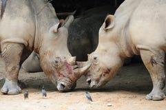Two rhinoceros fighting stock photo