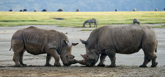 Two rhinoceros fighting with each other. Kenya. National Park. Africa. stock images