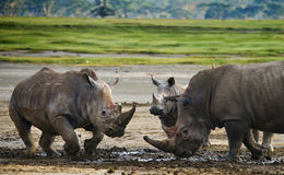 Two rhinoceros fighting with each other. Kenya. National Park. Africa. royalty free stock image