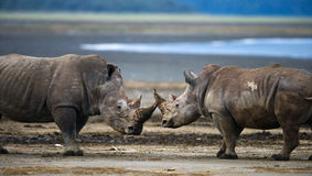 Two rhinoceros fighting with each other. Kenya. National Park. Africa. stock photo