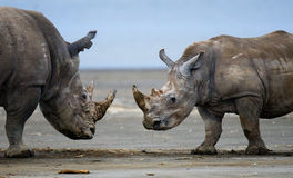 Two rhinoceros fighting with each other. Kenya. National Park. Africa. stock photography