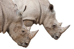 Two Rhinoceros heads on white with clipping path Royalty Free Stock Images