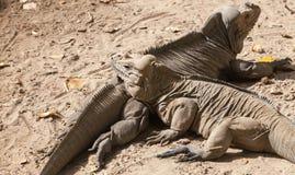 Two Rhinoceros Iguanas, lizards in family Iguanidae Royalty Free Stock Photo
