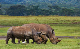 Free Two Rhinoceros In The Savanna. National Park. Africa. Stock Photos - 77433093