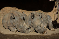 Two rhinoceros laying on the ground Royalty Free Stock Photography