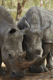 Two Rhinoceros nose the ground Stock Photo